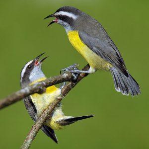 Vogel: Amerikanische Jungfern-Inseln